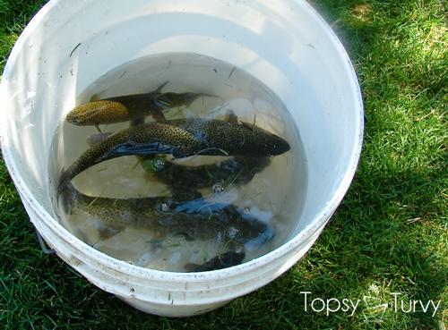 trout-farm-fish