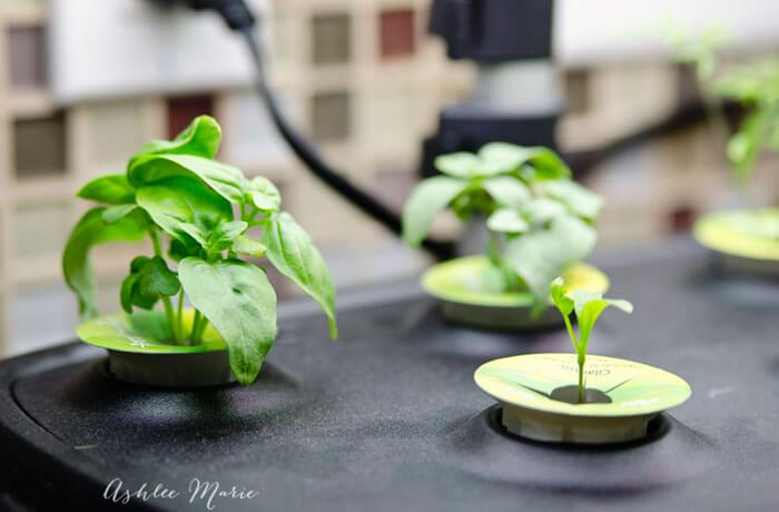 growing fresh herbs indoors with aerogarden